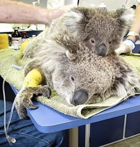 Koala Bushfire victims getting help at Southern Cross Wildlife Care Clinic